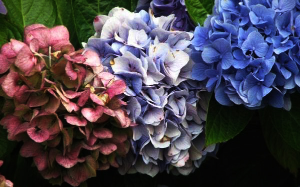 Hydrangeas - Known Among Unknown