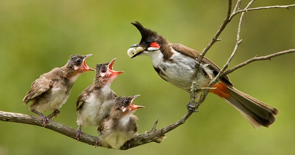 The-Ruler-poem-by-a sri-lankan-about-a-bulbul-mother